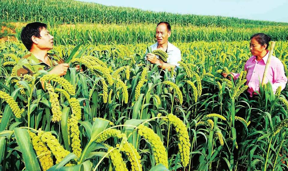 谷子施用有机肥的技术